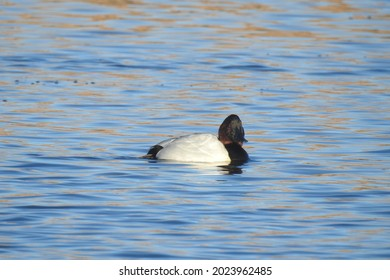 A male canvasback duck enjoying a sunny winter's day on the waters of Willow Lake, in Prescott, Arizona.