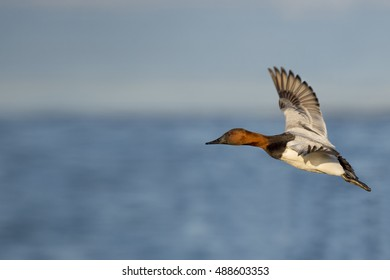 A male Canvasback duck flies in front of a blue river and sky on a sunny afternoon.