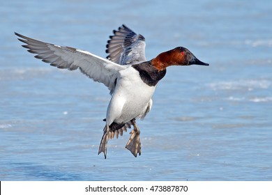 Male Canvasback Duck in Flight