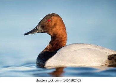 A male Canvasback duck floats on calm bright blue water in soft evening sun with a smooth background and its bright red eye standing out.