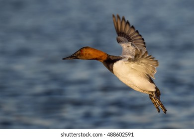 A male Canvasback duck holds its wings out and glides in to land with its feet hanging low.