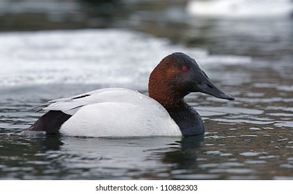 male Canvasback Duck swimming on the Columbia River in Washington, with floating ice in the background, during the late winter / early spring migration; Pacific Northwest wildlife / nature / outdoors