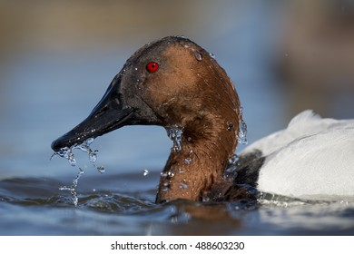 A male Canvasback immediately after it surfaced from a dive with water dripping from its head.