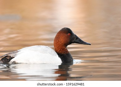 A male Canvasback swims on a pond on the Colorado prairie.