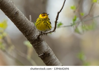 Male Cape May Warbler perched on a branch. Taylor Creek Park, Toronto, Ontario, Canada.