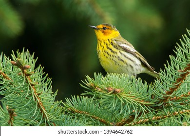 Male Cape May Warbler perched in an evergreen tree. Rosetta McClain Gardens, Toronto, Ontario, Canada.