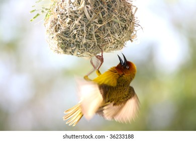 Male Cape weaver bird hanging from it's nest to attract a mate