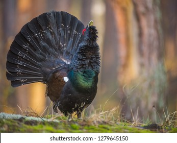 Male of capercaillie dancing on the lek