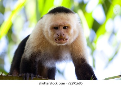 Male capuchin monkey looking with teeth bared