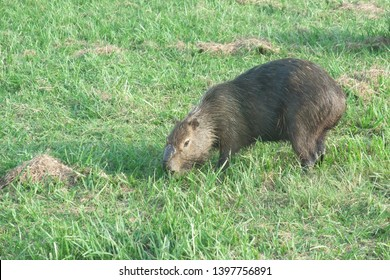 Male capybara grazing in the Pantanal, Brazil