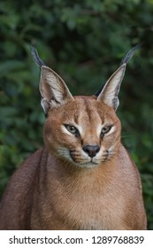 A male Caracal (Caracal caracal) close up of the head against a blurred natural background, South Africa
