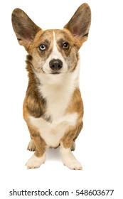 Male Cardigan Corgi standing isolated in white