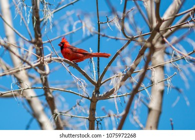 A male cardinal with bright red feathers in a tree during early spring.