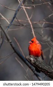 Male Cardinal (Cardinalis cardinalis) perched on a tree branch in the winter.