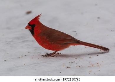 A male cardinal eats birdseed left on a trail at Kensington Metropark, near Milford, Michigan.