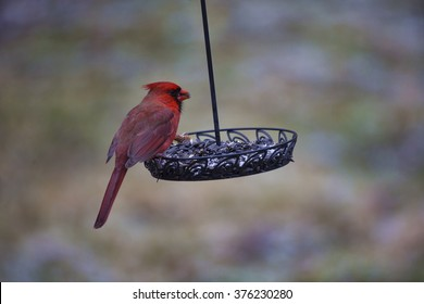 A male cardinal eats sunflower seeds from a swinging bird feeder on a cold Winter afternoon in Western New York