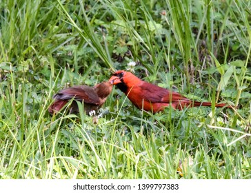 Male cardinal feeding fledgling on the grass.