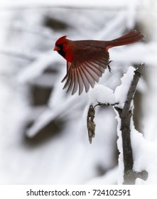 A male cardinal with outstretched wing leaps from branch in beautiful snow filled scene. Barrington, Illinois.