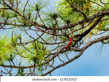 A male cardinal perched in the branches of a Florida slash pine tree with bright green needles and pine cones.