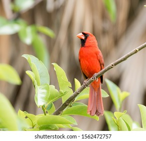 Male Cardinal perched on a branch of a tree