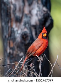 Male cardinal perched on some twigs