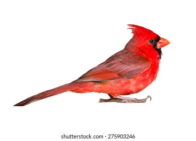Male cardinal seen up close in profile, isolated on white