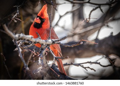 male cardinal sitting on a tree in the winter looking for a meal.