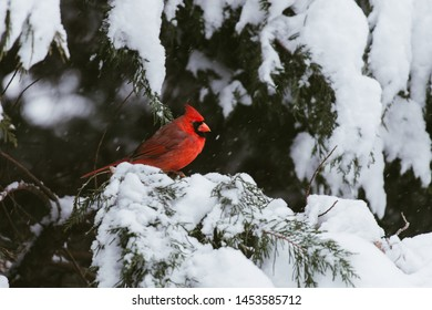 male cardinal in the snow winter