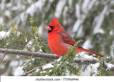 Male cardinal stands out against the snow covered pine tree.