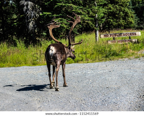 Male Caribou walking along gravel road in Kenai, Alaska in front of sign indicating no hunting is allowed