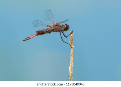 A male Carolina Saddlebags Dragonfly is perched on a dead stick on a blue background.