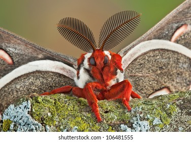 A male cecropia moth is waving at the camera for his close-up.