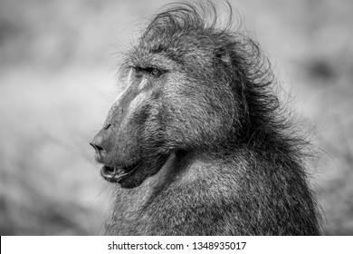 Male Chacma baboon close up in black and white in the Kruger National Park, South Africa.