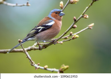 male Chaffinch (Fringilla coelebs) perched on spring tree branch with buds looking in the camera an ecological natural garden with green background