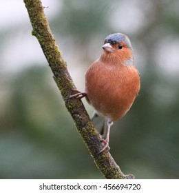 Male Chaffinch perched on a bare stick