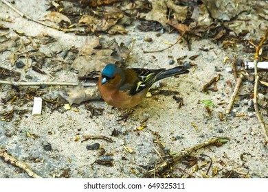 The male of the Chaffinch. Small , brightly colored songbird. Found in Europe, Asia and Africa.