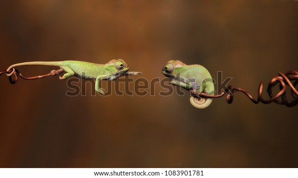 Male Chameleon wants to join female