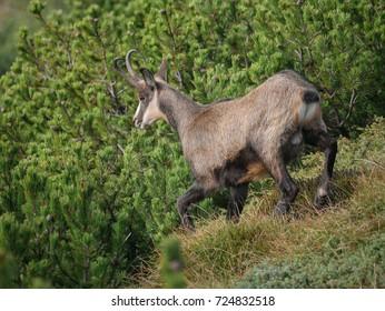 Male Chamois (Rupicapra rupicapra) run in the mugho pine woodland