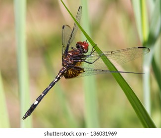 A male Checkered Setwing Dragonfly (Dythemis fugax) perched on green vegetation near the shore of a small lake outside of Junction (Kimble County), in central Texas