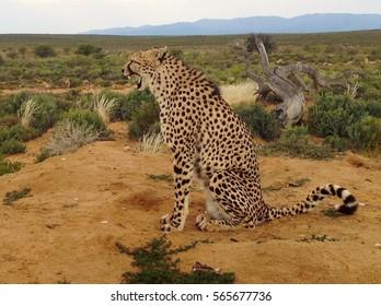 Male Cheetah calling