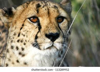 Male cheetah head in detail, Namibia