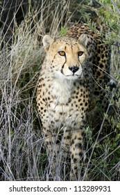 Male cheetah in long grass, Namibia