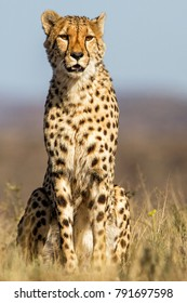 Male Cheetah sitting in the grass in Tiger Canyons GR in South Africa
