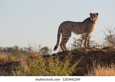 A male cheetah watches over the african plains searching for a sign of prey -captured in the Greater Kruger National Park
