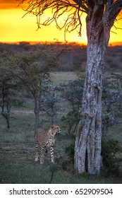 Male Cheetahs standing by a tree in Kenya's Masai Mara National Park at Sunset