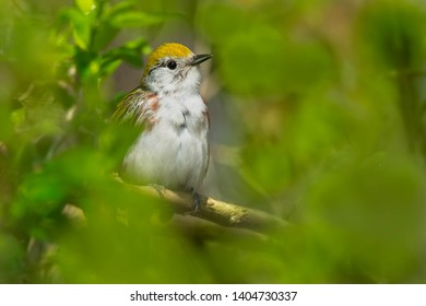 A male Chestnut-sided Warbler is perched on a branch deep inside the shrubbery. Ashbridges Bay Park, Toronto, Ontario, Canada.