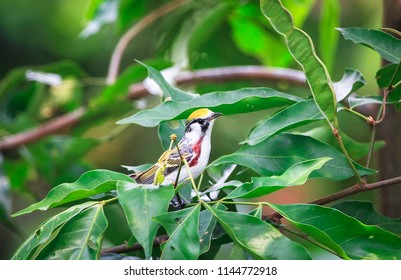 A male chestnut-sided warbler (Setophaga pensylvanica) perched in a tree in Belize.