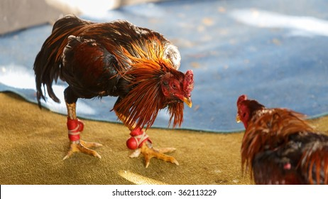 Male chickens fight for the honor of chickens