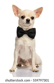 Male Chihuahua on white background