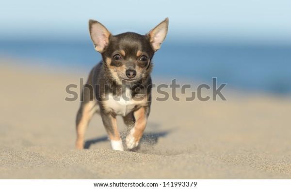 Male Chihuahua puppy